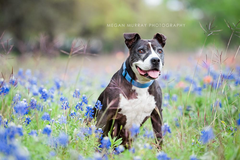 pit bull in texas bluebonnets