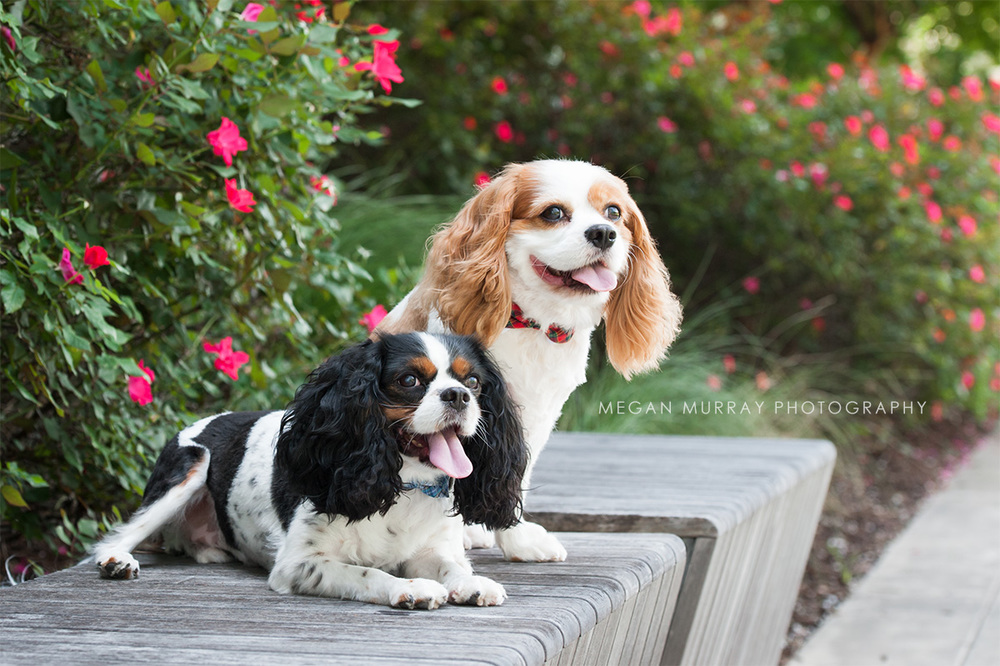 cavalier king charles dogs in houston
