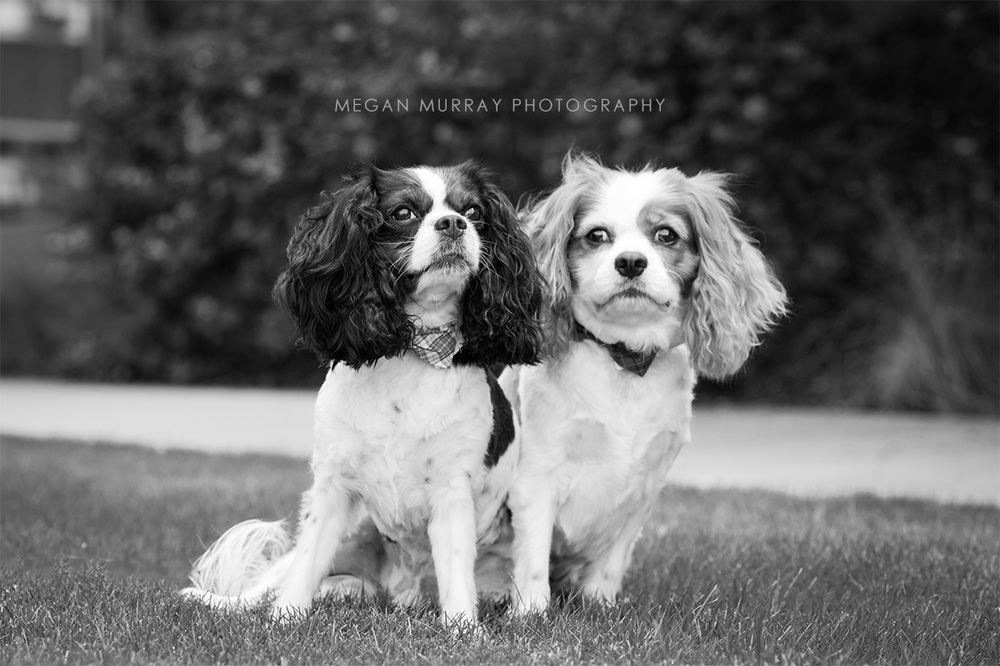 cavalier king charles spaniels with bowties