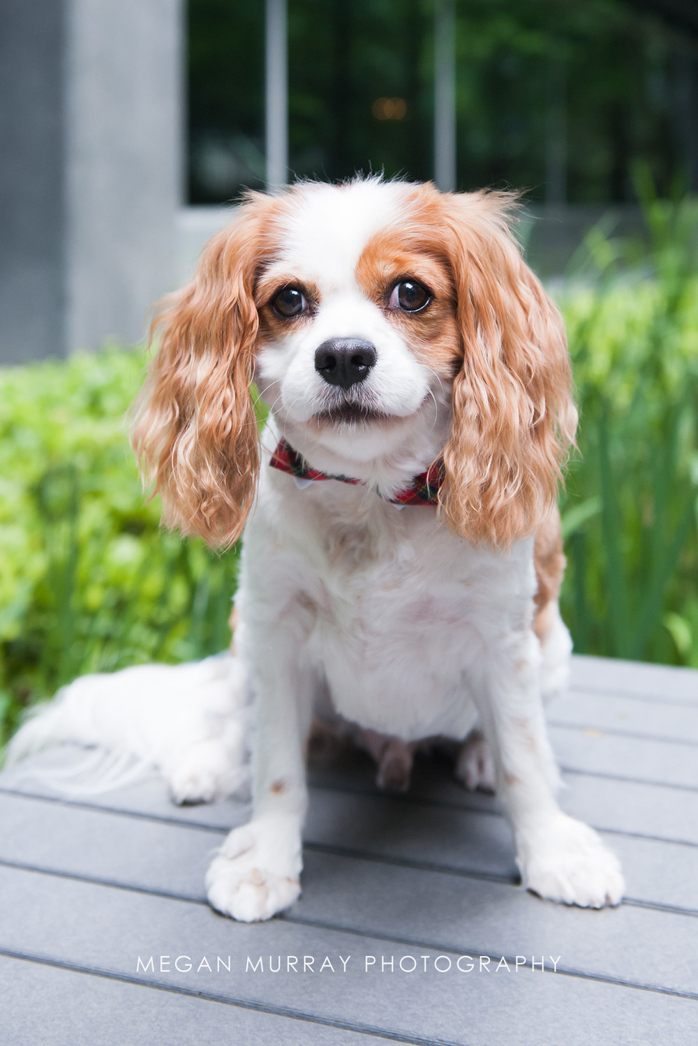 cavalier king charles houston dog photographer