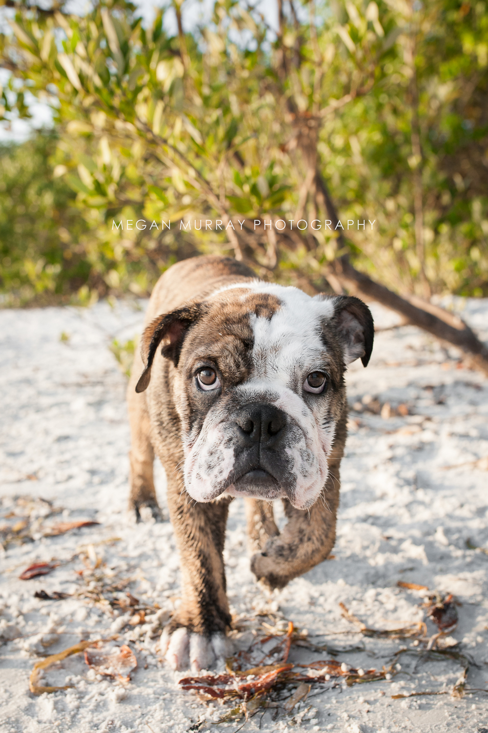bulldog on beach - houston dog photographer