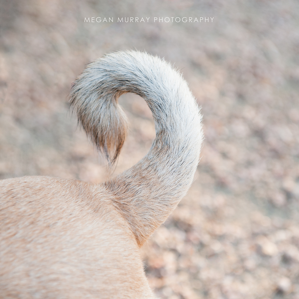 curly dog tail
