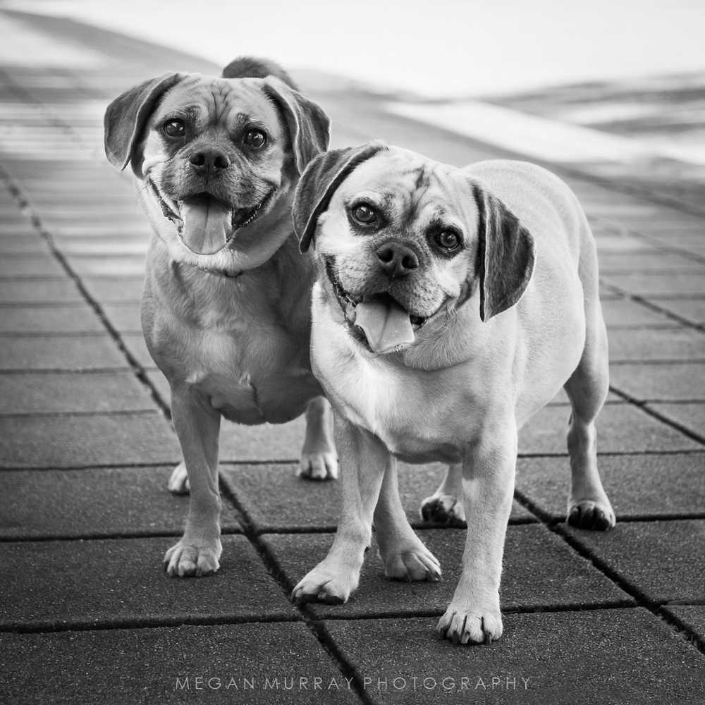 two puggles on sidewalk in black and white