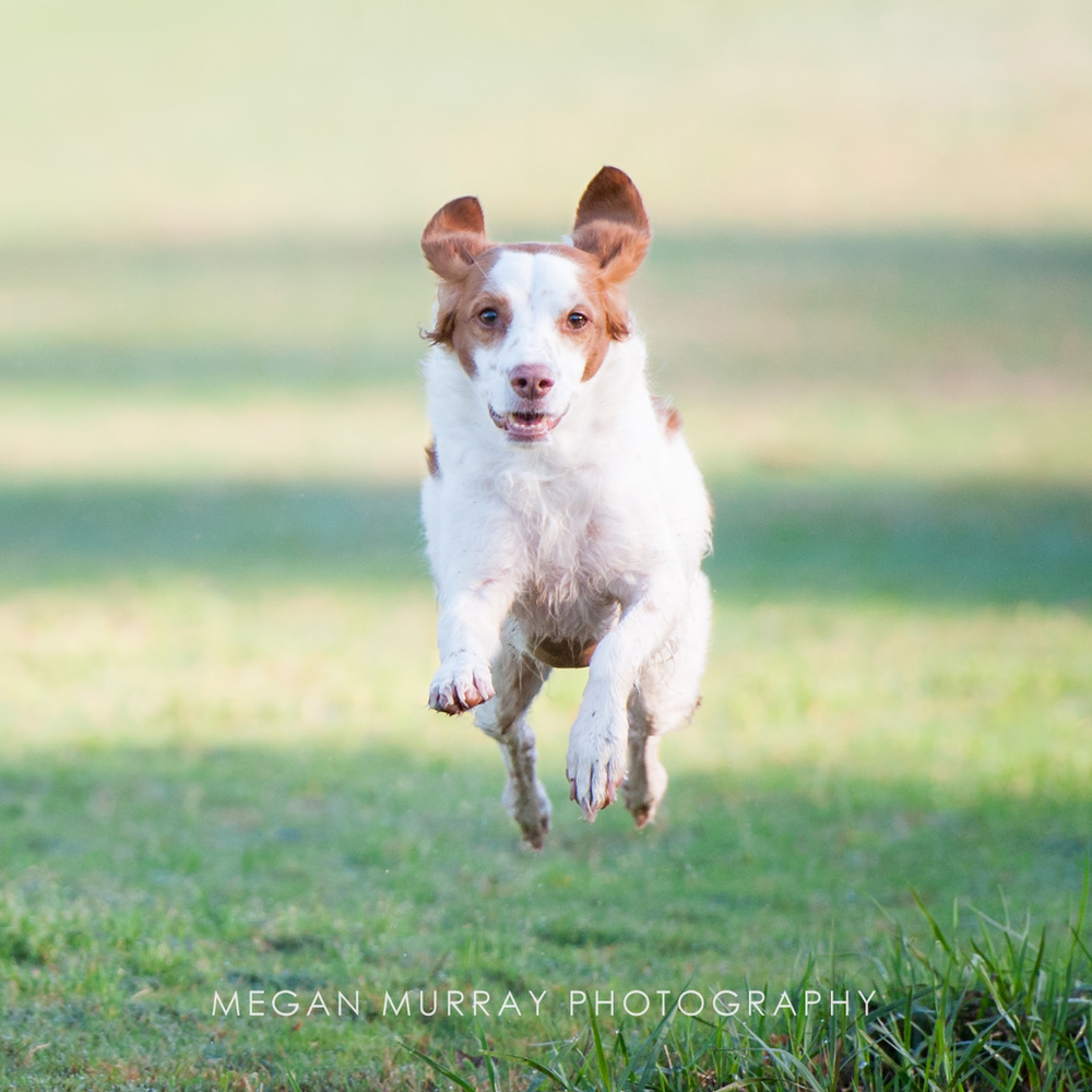 brittany spaniel jumping