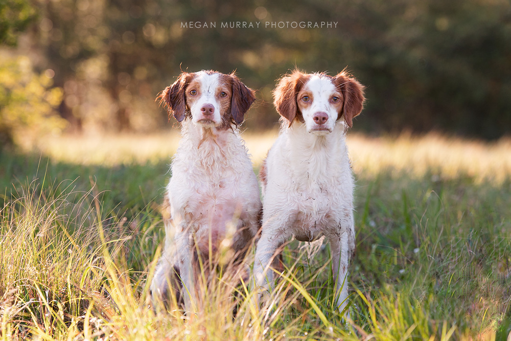 two brittany spaniels in a field