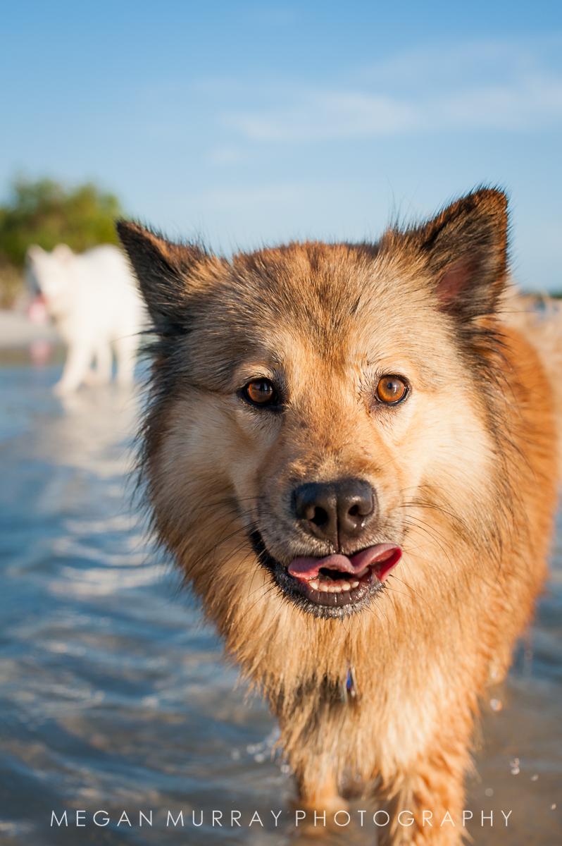 brown dog walking at the beach