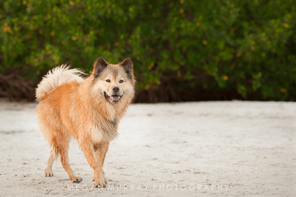 dog walking in the sand at the beach
