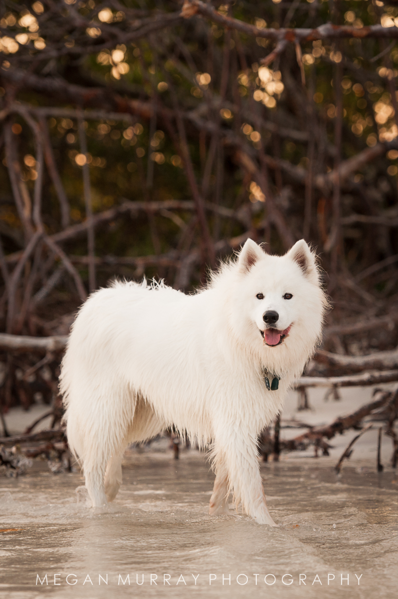 samoyed dog wading in the water