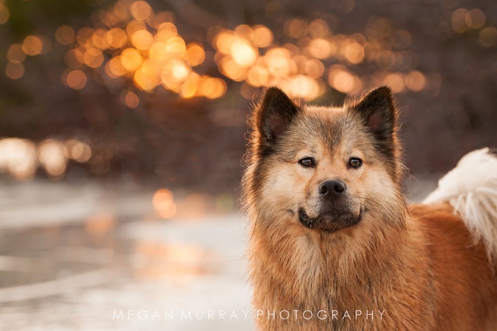backlit dog on beach with orange sunset