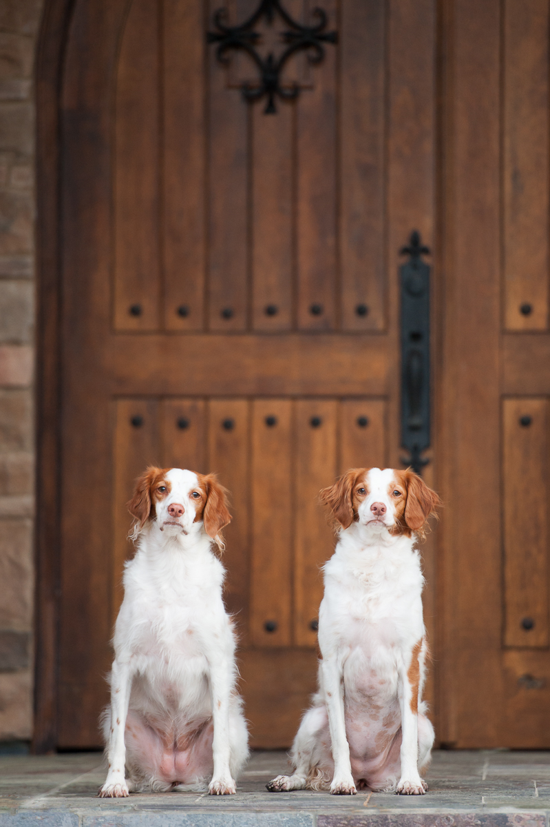 two brittany spaniels in magnolia tomball texas.jpg