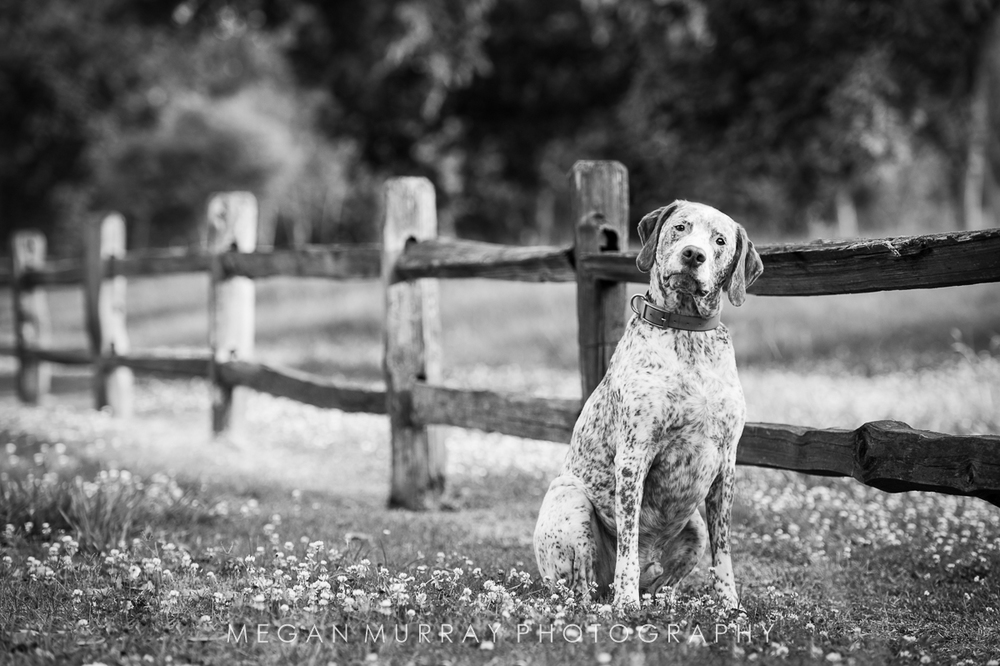 hunting dog in texas field with fence