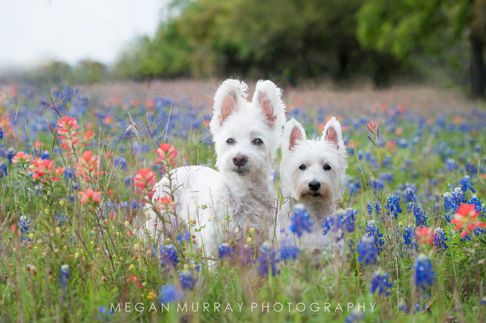 two white dogs in bluebonnets