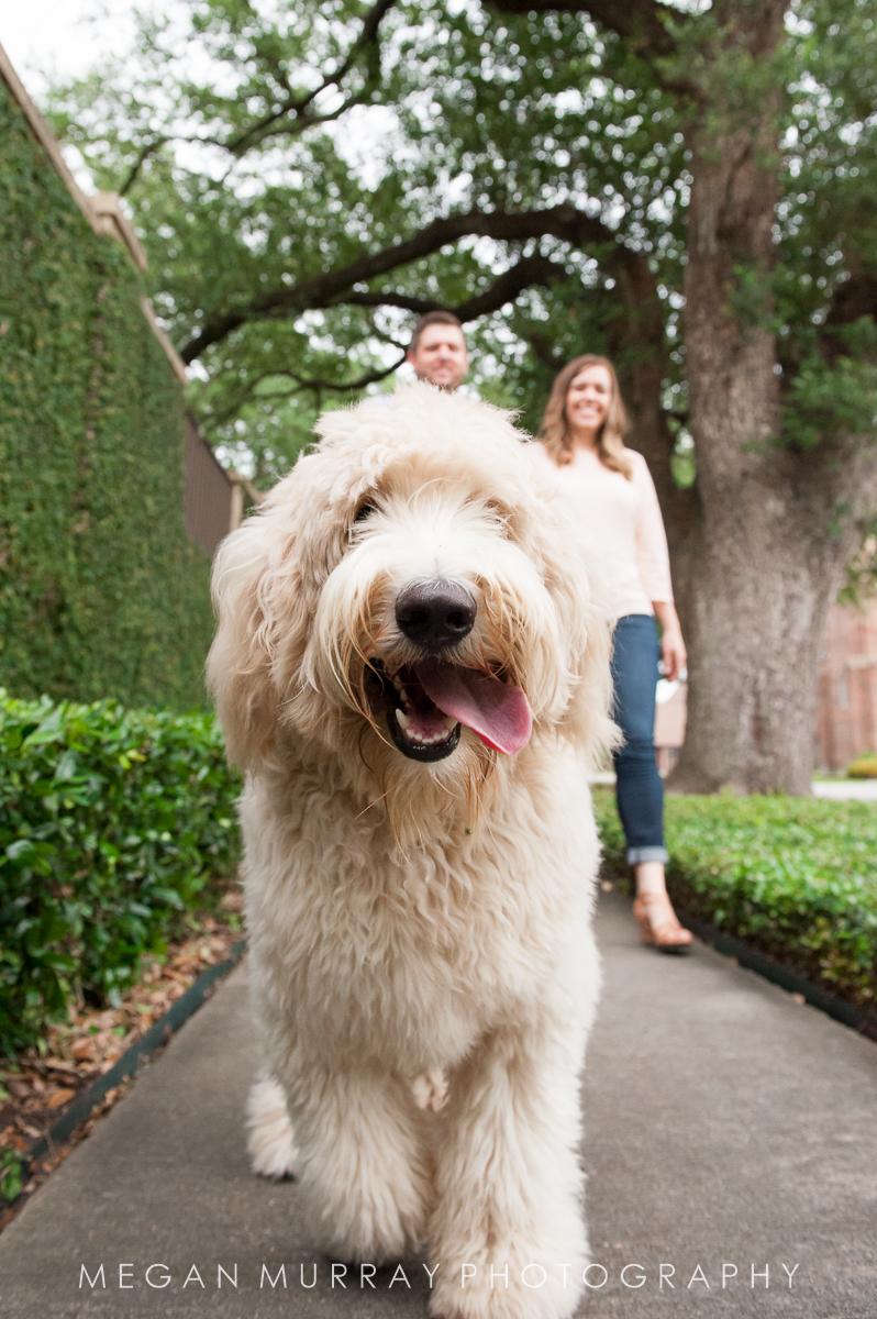 goldendoodle walking in houston heights sidewalk
