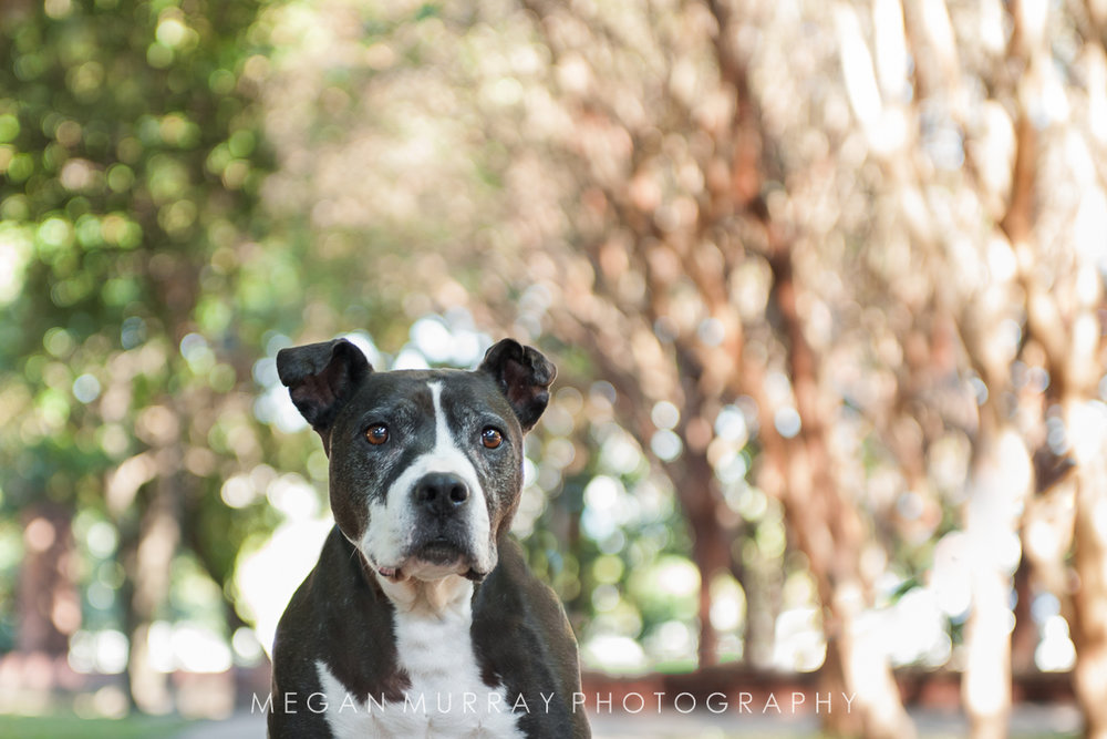 black and white pit bull in texas