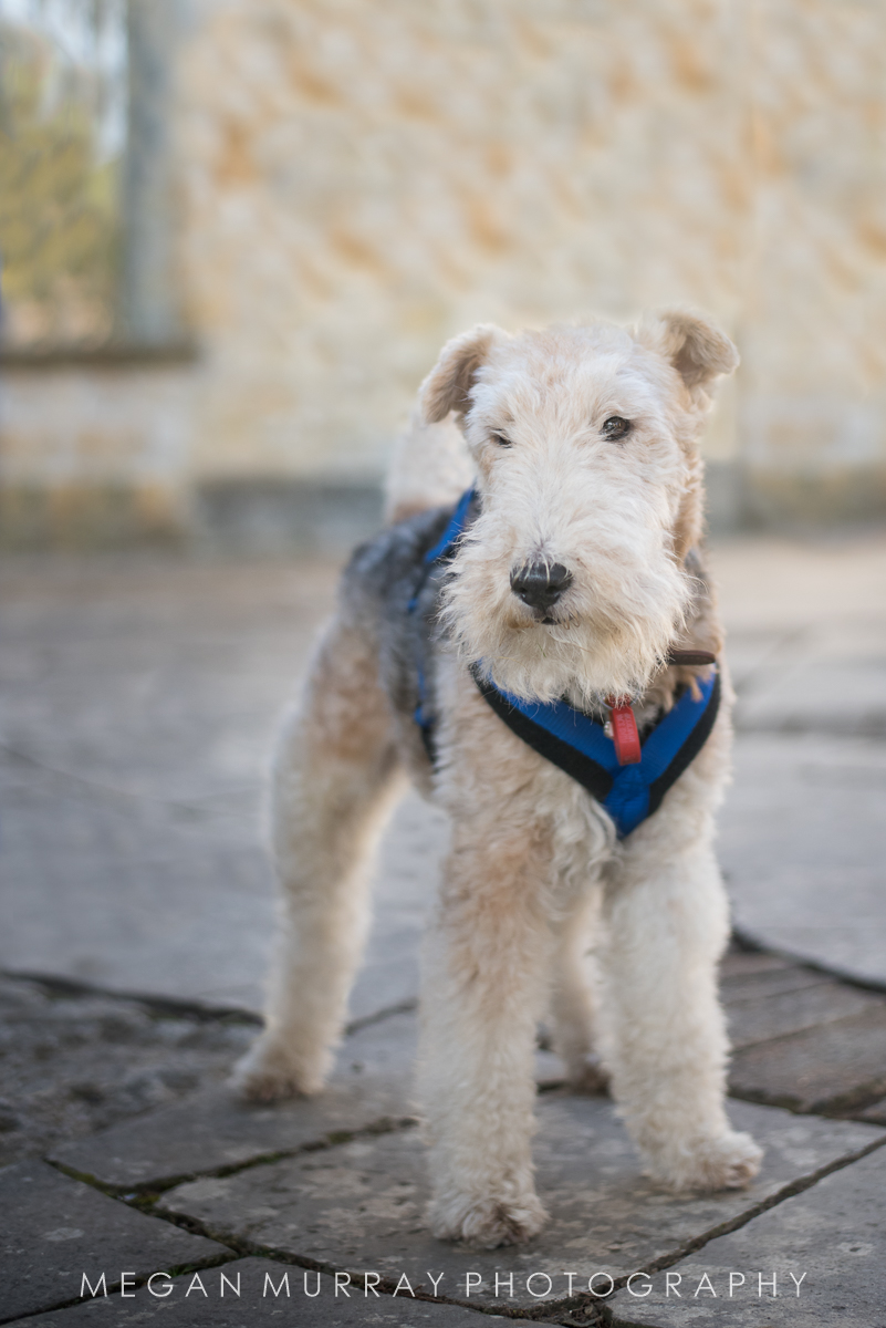 Finn - on his way to the Fox Terrier Walk in Brighton, a big dog party that involves a beach and a pub!