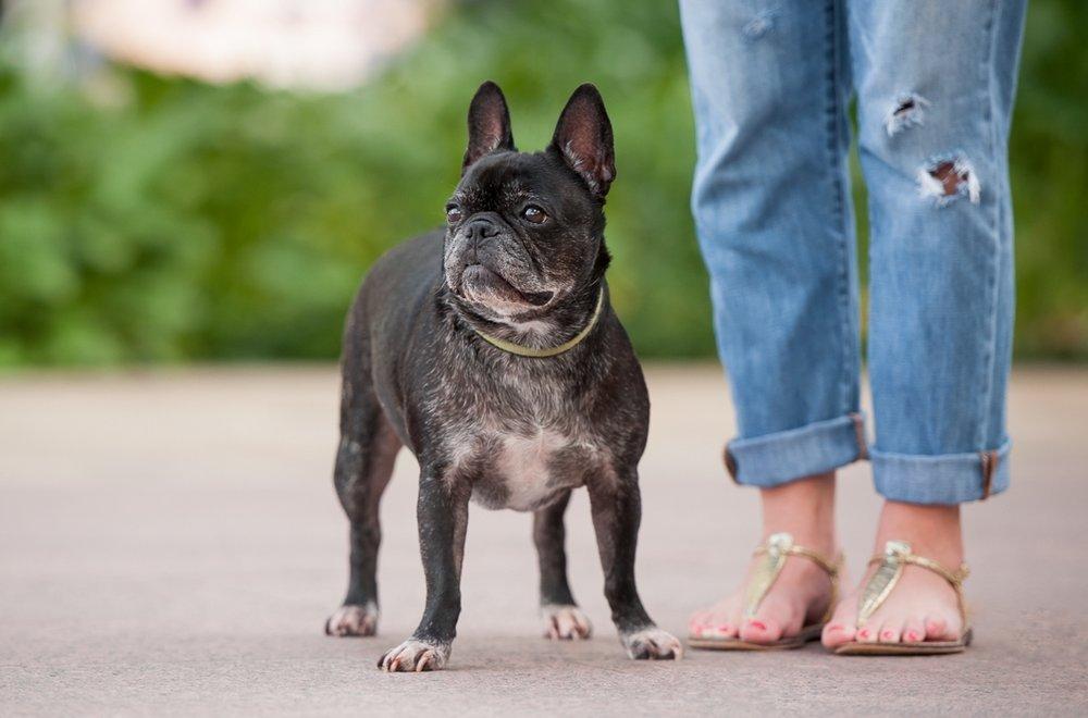 french bulldog in downtown houston texas