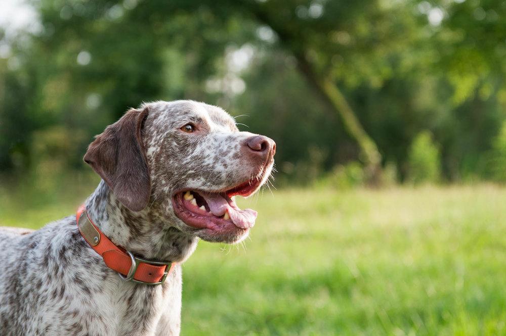houston hunting dog