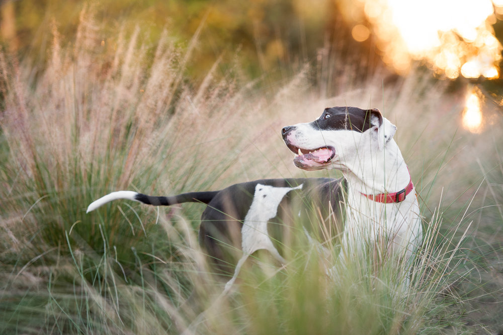 houston rescue dog in grass at sunset.jpg
