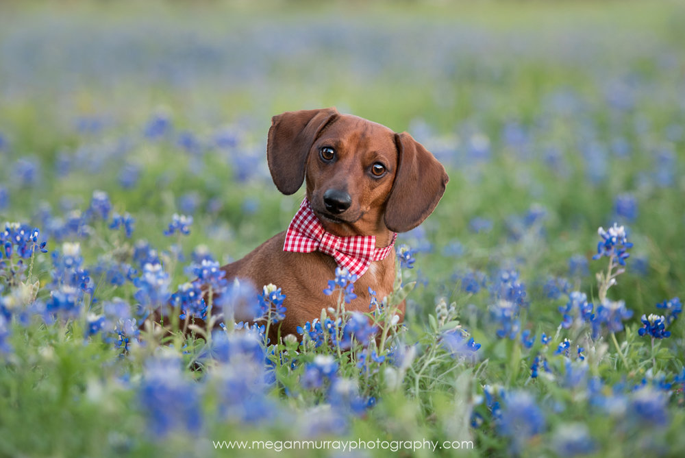 houston dog photography - dachshund in bluebonnets