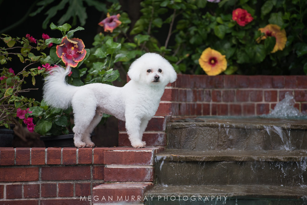 bichon frise standing guard over backyard pool in houston texas