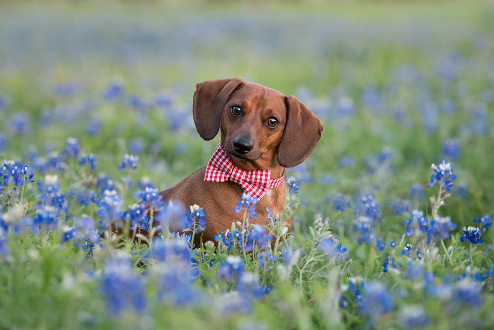 dachshund wearing bowtie in bluebonnets - houston pet photographer.jpg