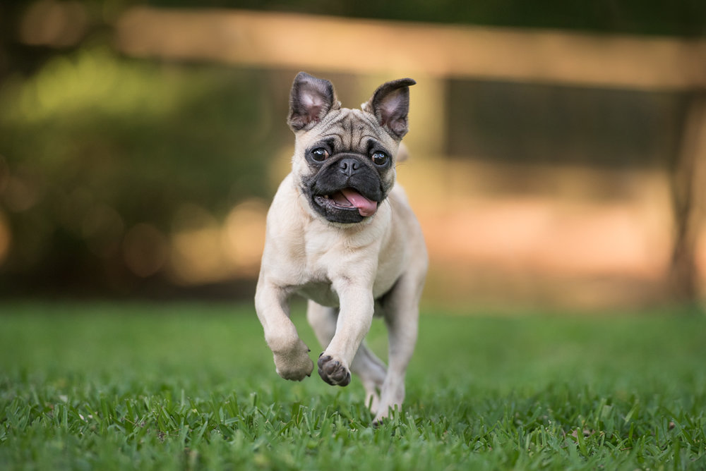 pug puppy running in the grass houston.jpg