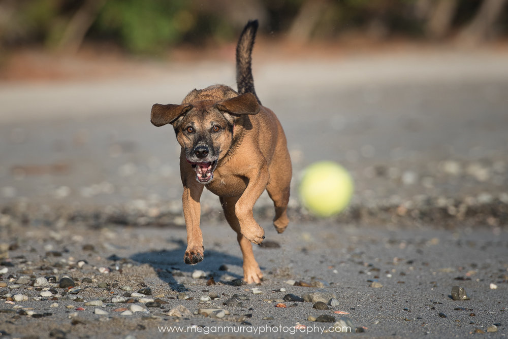 dog chasing tennis ball on beach