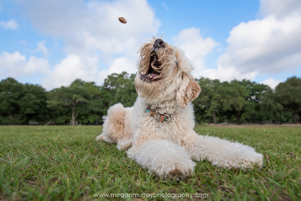 labradoodle catching a treat