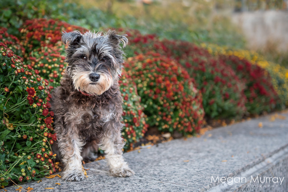 scruffy dog with red and yellow flowers