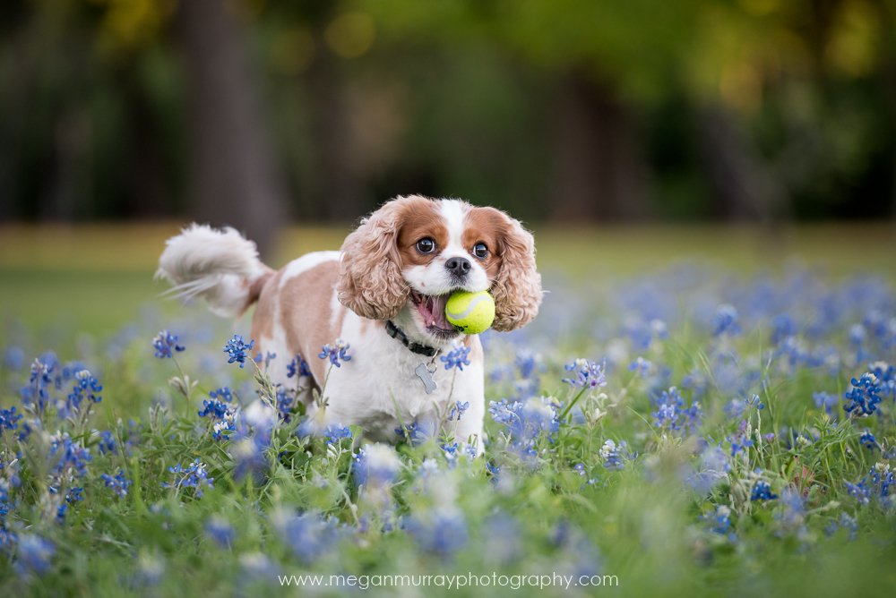 cavalier king charles spaniel in bluebonnet field
