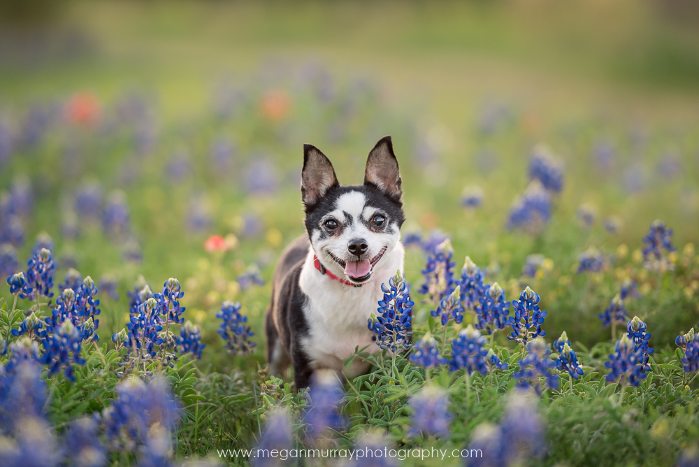 bluebonnet photo sessions for dogs by megan murray photography