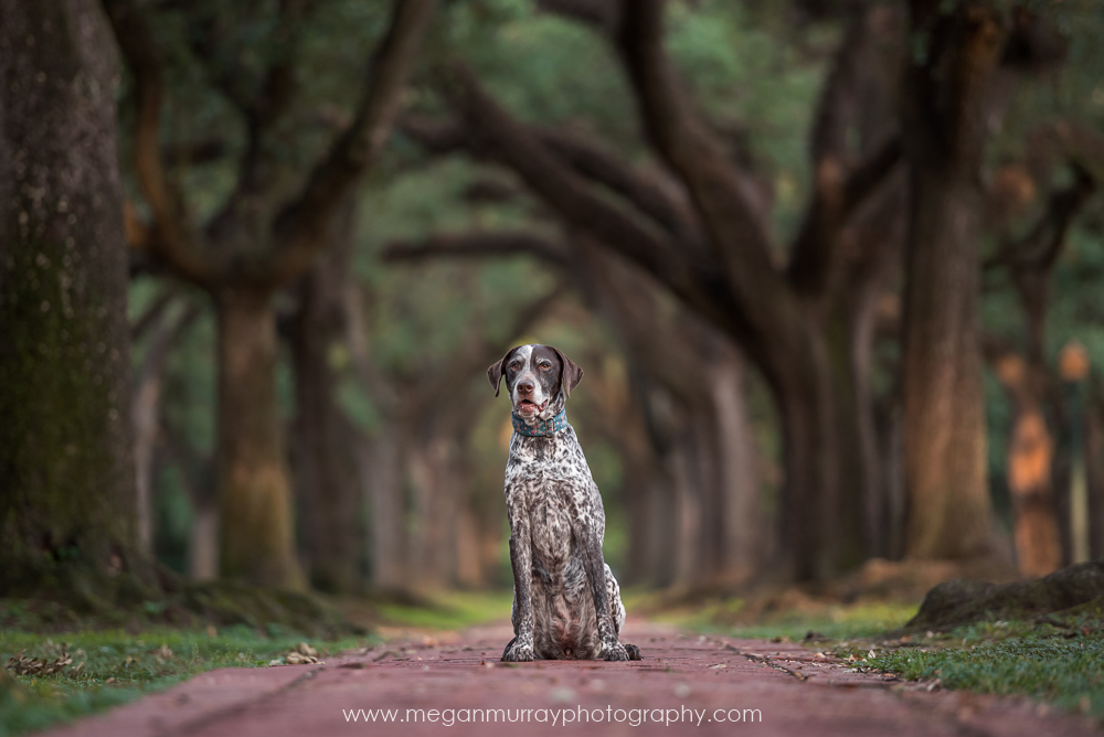 german shorthaired pointer under oak trees in houston