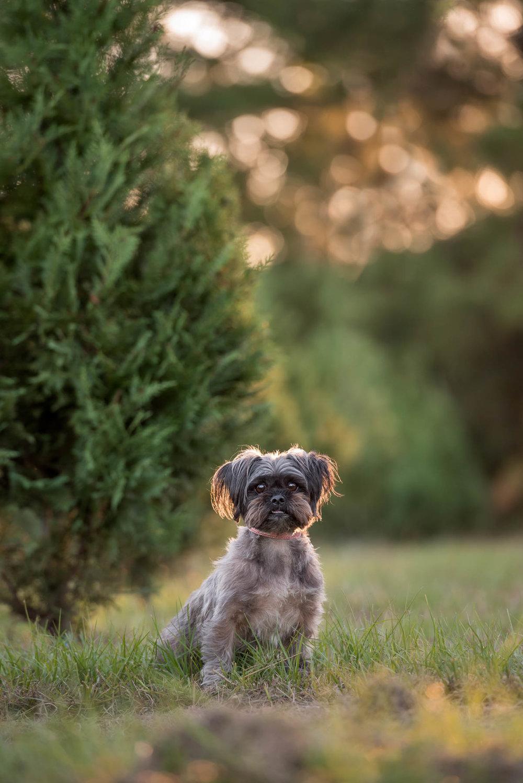 scruffy dog at houston christmas tree farm holiday photos