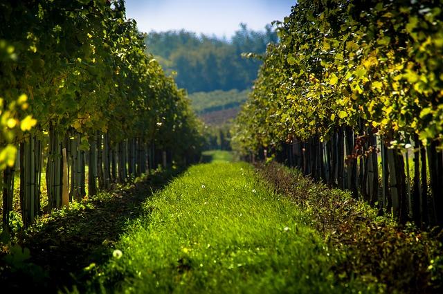 A healthy vineyard in Austria - but is it organic?