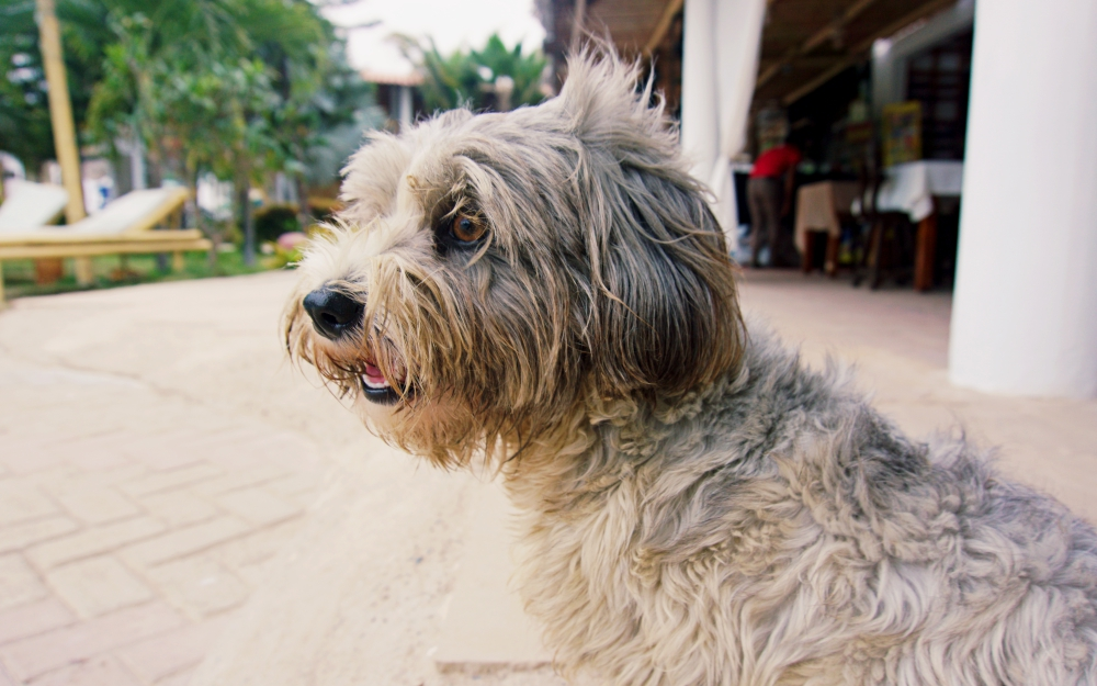 This is Luna, one of the four dogs that live at the Pinamar Hotel here in Zorritos.