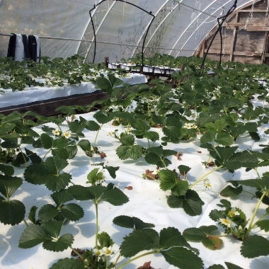 Strawberries being nurtured at Strawberry Frames