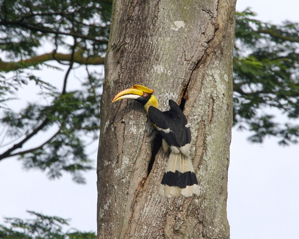 Great Pied Hornbill