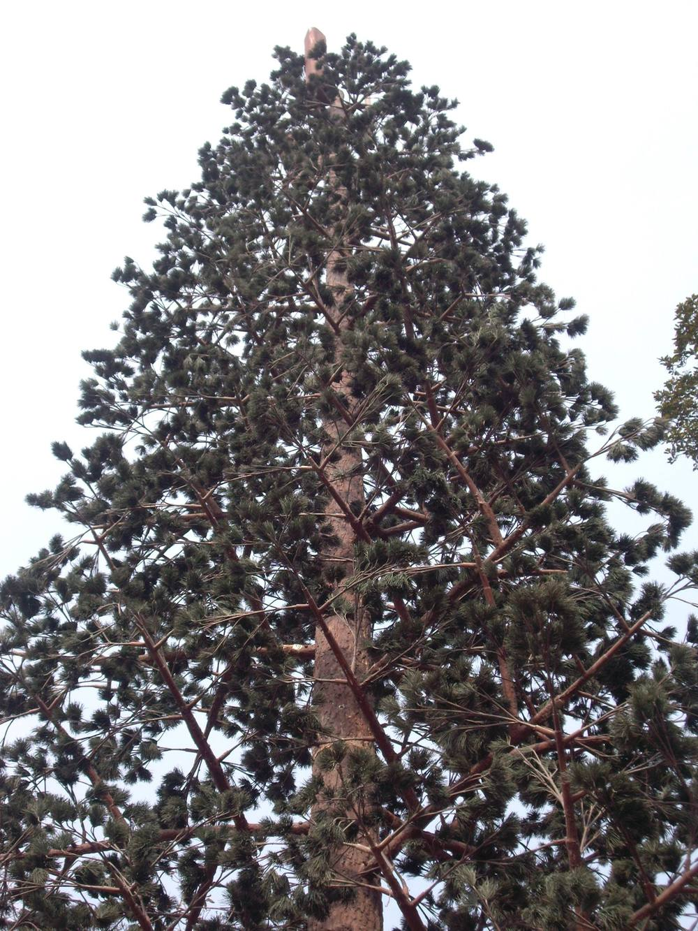 PINE TREE TOWER 04.jpg