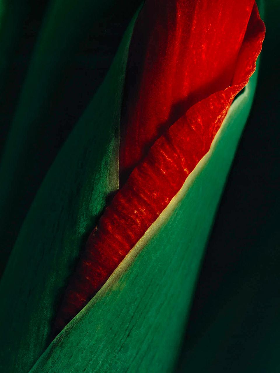 Gladiola (120cm x 160cm)