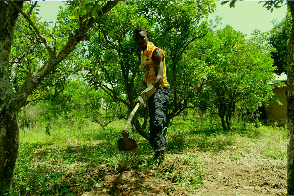farmer tending orange trees.JPG