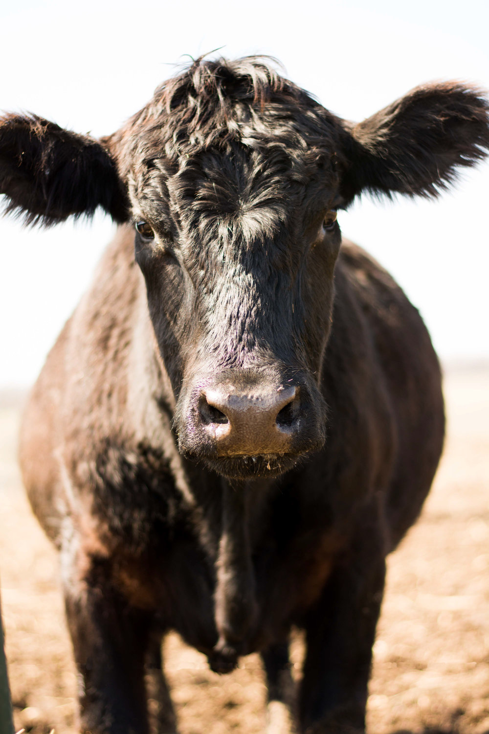 Black Cow Face.jpg
