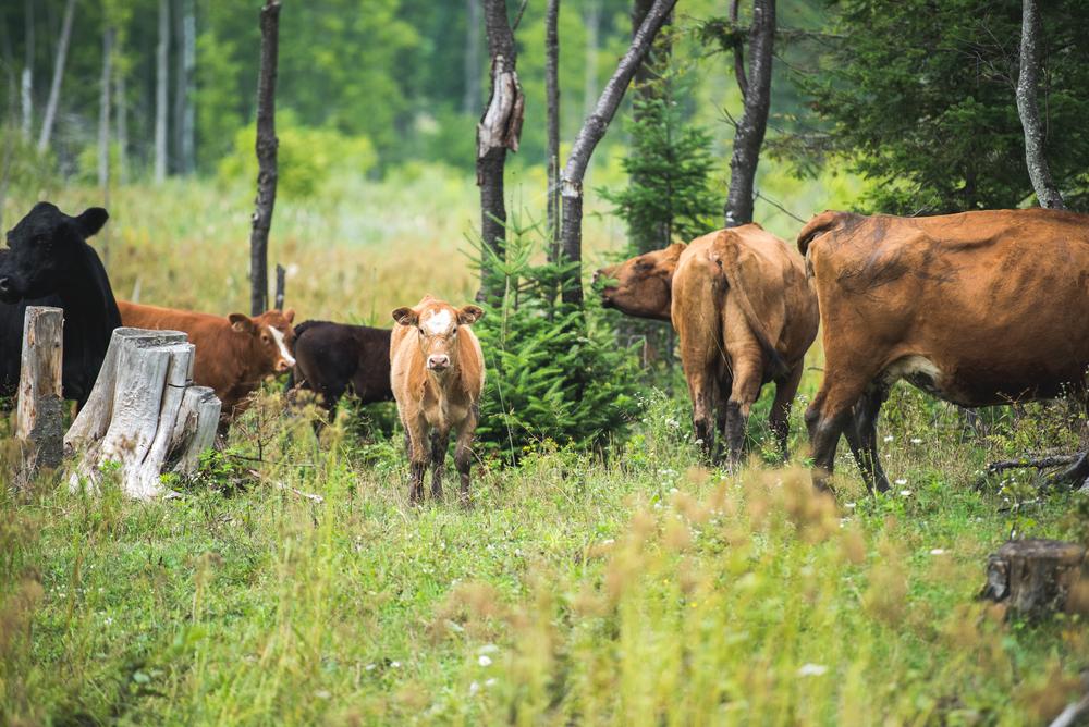 Les vaches de la ferme Nordest broutent sur 1200 acres de terre, dont 500 de forêt.