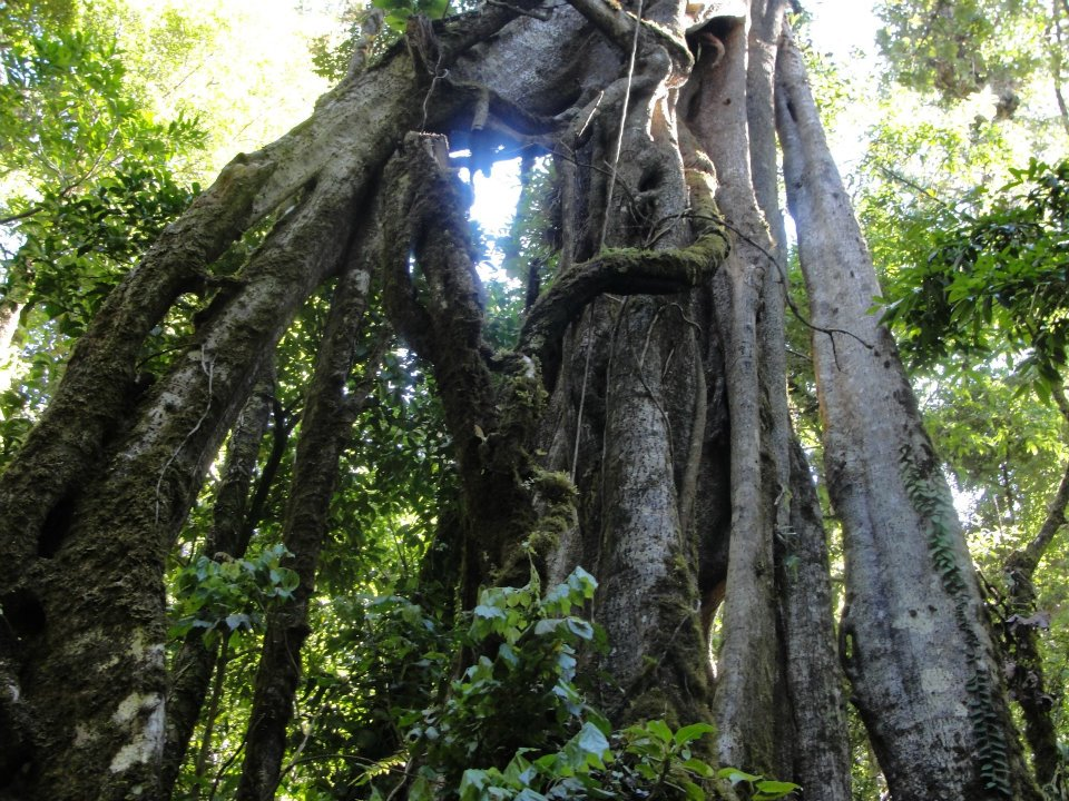 A typical tree in Monteverde