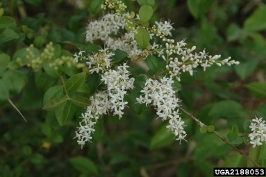 Privet is a semi-evergreen shrub that can grow to be 8-20 ft tall. In the late spring/early summer, privet produces small, white flowers.