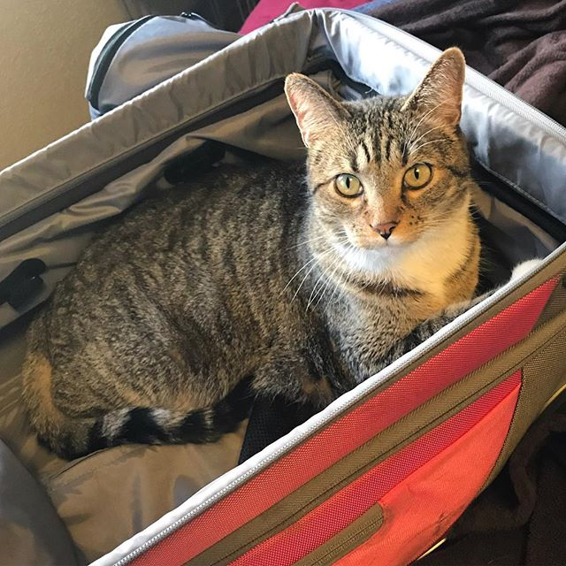 Igmar in my suitcase, all is well in the pre-travel universe 😊 #igmar #igmarisacat #catsofinstagram #suitcasesarethebestbeds
