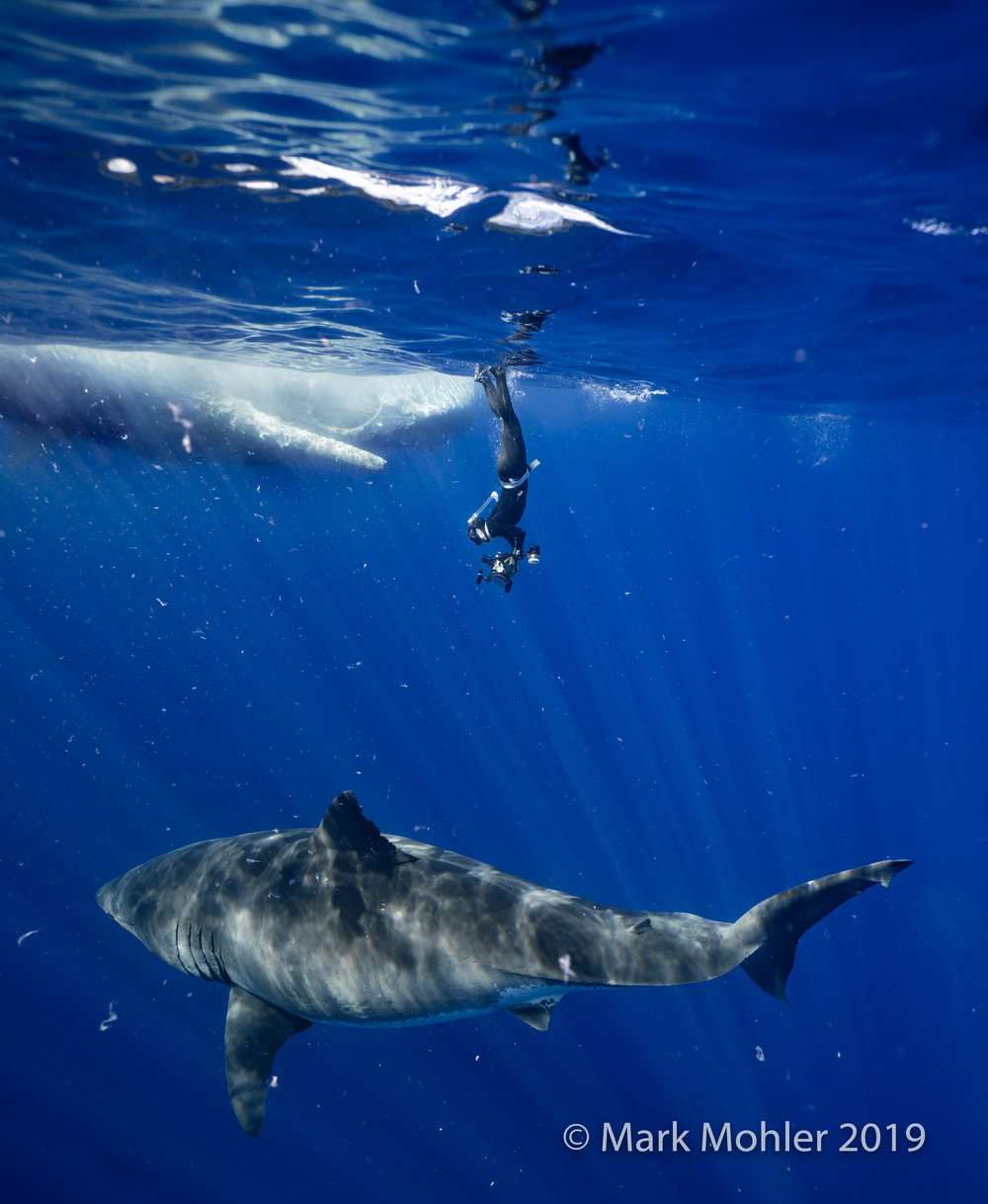 The massive and rarely seen great white shark, Deep Blue, made an appearance near Oahu, and Mark Mohler '09 was there to document it.