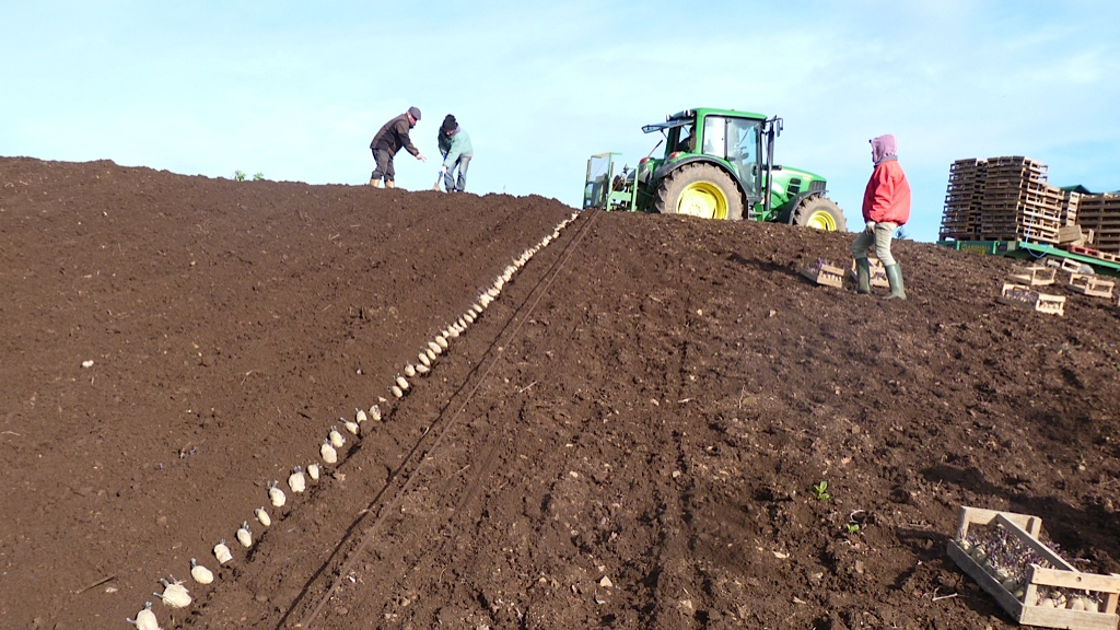 Mill farm planting - row of spuds