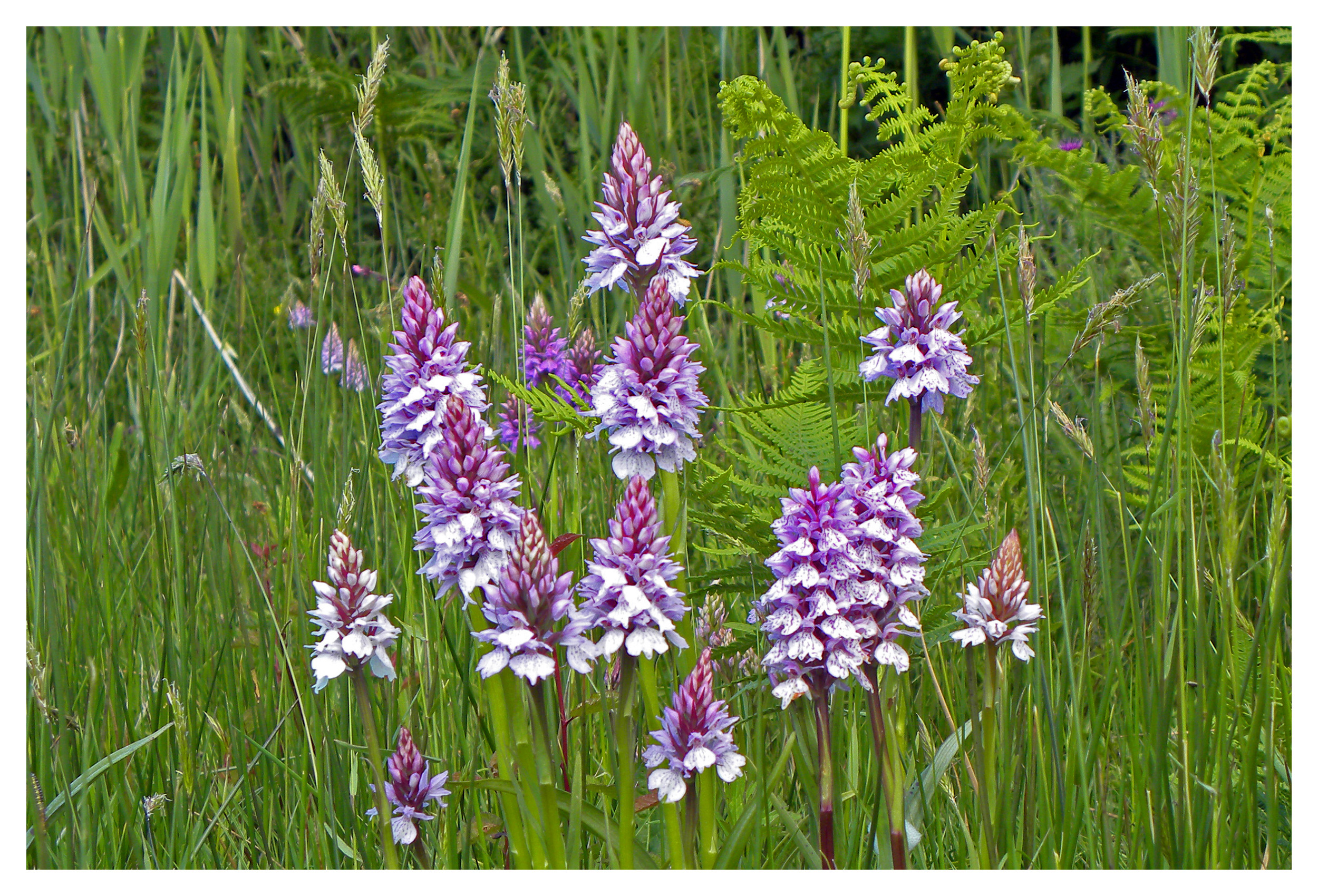 Spotted Orchid2