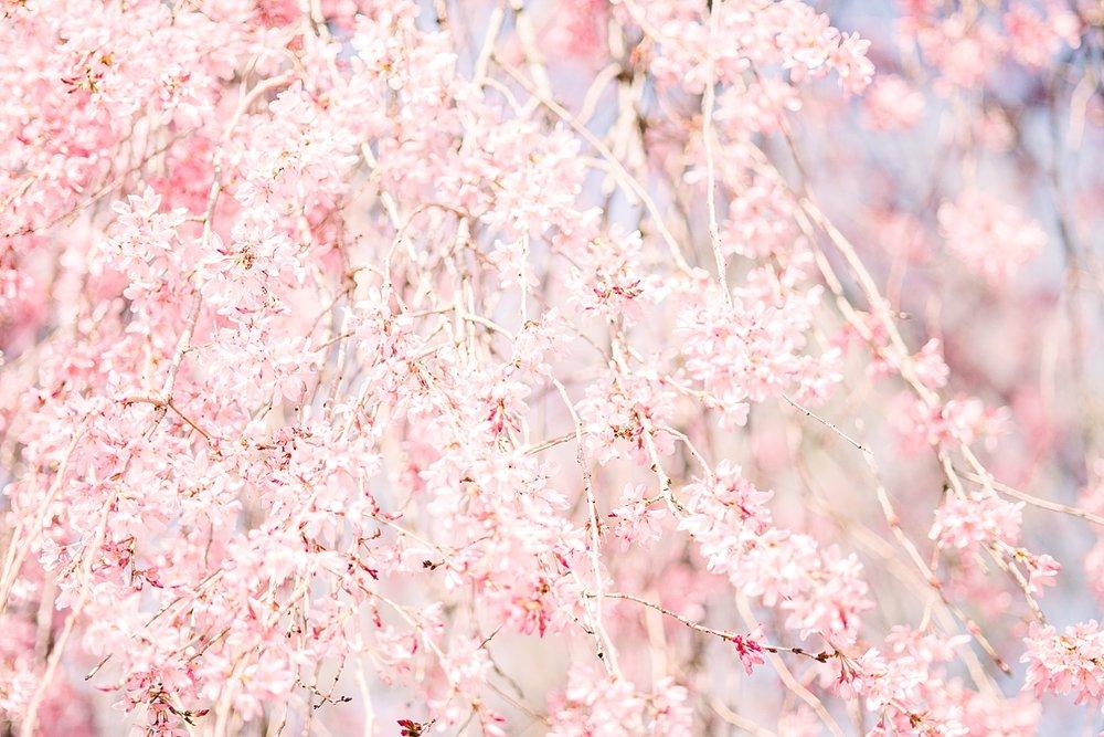 cherry-blossoms-photo-session