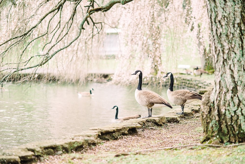geese-by-pond
